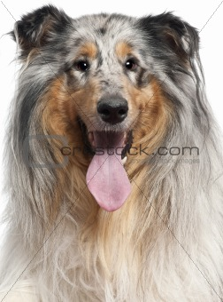Close-up of Shetland Sheepdog with tongue out, 1 year old, in front of white background