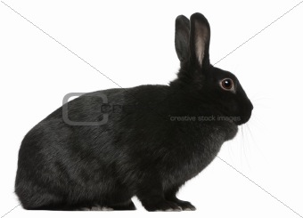 Black Rabbit, 1 year old, sitting in front of white background