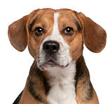 Close-up of Beagle, 3 years old, in front of white background