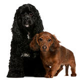 American Cocker Spaniel, 2 years old, and Dachshund puppy, 4 months old, in front of white background
