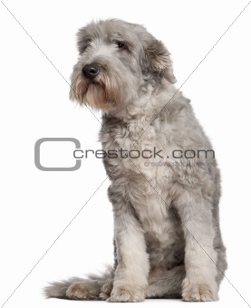 Bearded Collie, 10 years old, sitting in front of white background