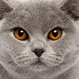 Close-up of British Shorthair Cat, 8 months old