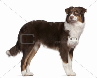 Australian Shepherd dog, 7 months old, standing in front of white background