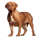 Dogue de Bordeaux, 7 years old, standing in front of white background