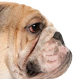Close-up of English Bulldog, 16 months old, in front of white background