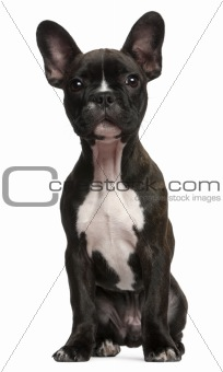 French bulldog puppy, 3 months old, sitting in front of white background