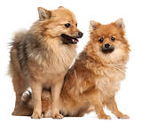 Two Spitz dogs, 1 year old, in front of white background