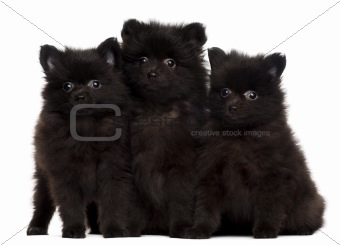 Three Spitz puppies, 2 months old, sitting in front of white background
