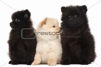 Three Spitz puppies, 2 months old, in front of white background
