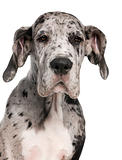 Close-up of Great Dane puppy, 3 months old, in front of white background