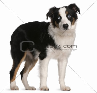 Australian Shepherd puppy, 5 months old, standing in front of white background