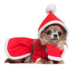 Chihuahua, 11 months old, in Santa outfit, lying in front of white background