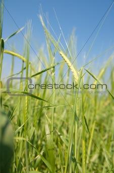 Green  wheat on a grain field in spring