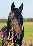 portrait of nice  black stallion
