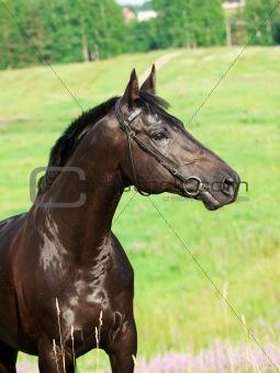 portrait of nice  black stallion