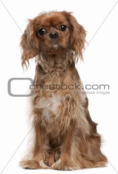 Cavalier King Charles Spaniel, 18 months old, sitting in front of white background