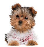 Yorkshire Terrier puppy dressed up, 3 months old, lying in front of white background