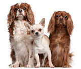 Cavalier King Charles Spaniels and Chihuahua in front of white background