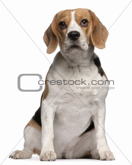 Beagle puppy, 12 months old, sitting in front of white background