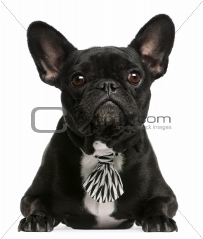 French bulldog wearing bowtie, 5 years old, lying in front of white background