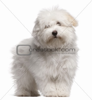 Coton de Tulear puppy, 4 months old, standing in front of white background
