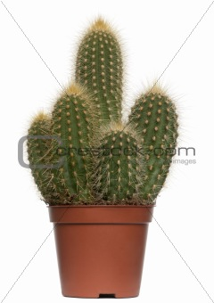 Cactus in front of white background