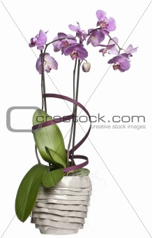 Potted orchid flowers in front of white background