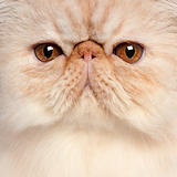 Close-up of Persian kitten, 3 and a half years old