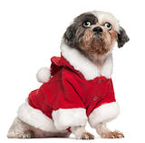 Shih Tzu wearing Santa outfit, 12 and a half years old, sitting in front of white background