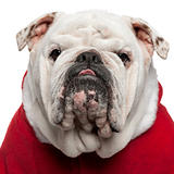 Close-up of English bulldog in Santa outfit, 4 years old, in front of white background