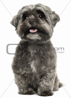 Shih Tzu panting, 3 years old, sitting in front of white background