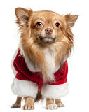 Chihuahua wearing Santa outfit, 1 year old, standing in front of white background