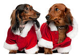 Dachshunds wearing Santa outfits, 18 months and 3 years old, in front of white background
