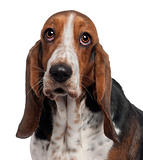 Bassett Hound, 6 years old, in front of white background