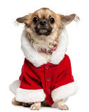 Chihuahua wearing Santa outfit, 5 years old, sitting in front of white background