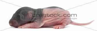 Baby rat, 5 days old, in front of white background