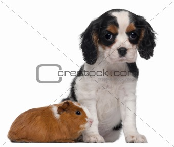 Cavalier King Charles puppy, 2 months old, and guinea pig in front of white background