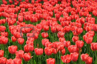 beautiful red tulips