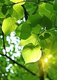 fresh spring foliage