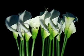 Arum lilies (Zantedeschia aethiopica) a.k.a. calla flowers