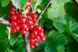 Ripening red currant. Selective focus, shallow DOF. Green backgr
