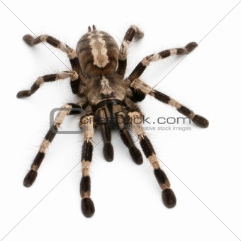Tarantula spider, Poecilotheria Miranda, in front of white background