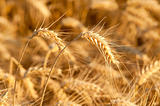 Yellow wheat on a grain field in summer just before harvest