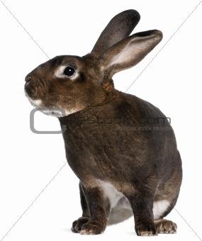 Castor Rex rabbit in front of white background