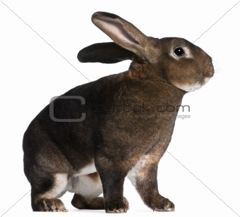 Castor Rex rabbit in front of white background