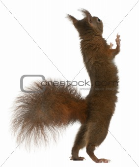 Eurasian red squirrel on hind legs, Sciurus vulgaris, 4 years old, in front of white background
