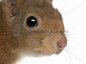 Close-up of Eurasian red squirrel, Sciurus vulgaris, 4 years old, in front of white background
