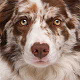 Close-up of Red Merle Border Collie, 6 months old