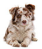 Red Merle Border Collie, 6 months old, lying in front of white background