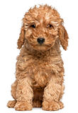 Poodle puppy, 2 months old, sitting in front of white background